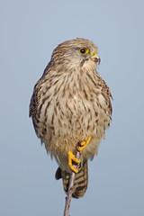 Regal Pose (Hugobian) Tags: bird nature birds animal fauna forest woodland wildlife trust kestrel heartwood
