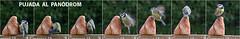 PANODROM (Pep Companyó - Barraló) Tags: barcelona birds animals fauna de bread al pain au rustic natura aves climbing pa un pajaros catalunya aus oiseaux caeruleus blava ocells bergueda josep subiendo aller cyanistes ornitologia mallerenga puigreig pujant descalade companyo barralo crosto panodrom panodromo