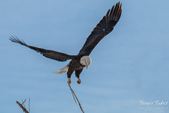 Bald Eagle launches, snaps off branch - Sequence - 5 of 13