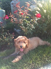 cooper-is-one-of-ginger-and-chewys-boys-_4963985332_o