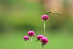 Butterfly (ainulislam) Tags: flower butterfly green gogreen blur dof depthoffield depth blumen flora floral garden sharp dhaka dhakagram dhakagraam
