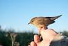 Sprinkhaanzanger - Locustelle tachetée (Marc Nollet) Tags: vogelfotografie vogel vogels ringen ringwerk antoine bird birds birdwatcher birding birdringing nollet eendekooi lissewege