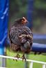 Matilda (Mikey Down Under) Tags: black australorp chicken australia feet fence spur garden backyard