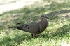 Tourterelle oreillarde (Aymeric Mousseau) Tags: argentina reservaecologicacostanerasur buenosaires tourterelleoreillard zenaidaauriculata eareddove