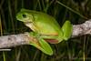 Green Treefrog (Litoria caerulea) (JLoyacano) Tags: australia frog jacobloyacano litoriacaerulea amphibian anura australiangreentreefrog greentreefrog herp herping litoria nature treefrog wildlife