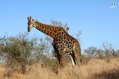 Girafa, giraffe (Giraffa) (xanirish) Tags: girafa giraffegiraffaemliberdadewildlifenunoxavierlopesmoreira ngc liberdade selvagem south africa kruger park giraffacamelopardalisgiraffa southafricangiraffe