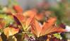 In dire need of colour... (MomOfJasAndTam) Tags: colour color colours leaf leaves autumn greenery garden fall bush bushes dof depthoffield plant foliage bokeh
