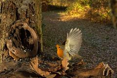 Pettirosso (AIIex) Tags: laowa wideangle nikon d7100 grandangolo wild wildlife wood bosco pettirosso bird robin animal