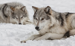 Grey Wolves at Rest (David Jones 2) Tags: grey wolves wolf gray yellowstone monatana usa snow winter dave jones