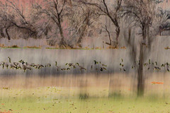OVERWINTER (Deborah Hughes Photography) Tags: geese nature icm intentionalcameramovment multipleexposures incameraeffects
