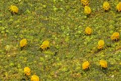Kugelspringer Hotspot - Sminthurinus aureus - Collembola (AchimOWL) Tags: macro makro natur nature animals tiere gx80 dmcgx80 panasonic lumix postfocus stack stacking insekt insect raynox springtail kugelspringer collembola outdoor schärfentiefe ngc macrodreams tier