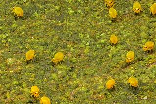 Kugelspringer Hotspot - Sminthurinus aureus - Collembola