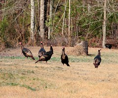 #Photography #Nature #Birds #WildTurkeys #CoreyWhitePhotography #CanonEos7D (coreywhite1) Tags: nature wildturkeys birds canoneos7d coreywhitephotography photography
