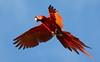 Scarlet Macaw (Ara macao). Carara area Pacific Coast Costa Rica. (festoon1) Tags: scarletmacaw aramacao bird costarica