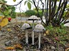 Tall Mushrooms (Andrew Laws) Tags: mushrooms nature fungi fungus grass road path outdoors footpath rosehip color colorful