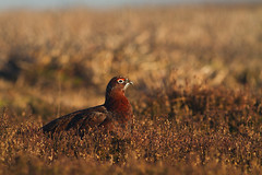 Red grouse (Sarah Joy L.) Tags: birds bird lagopuslagopusscotica uccello uccelli oiseaux oiseau uk yorkshire west ilkley moor moors grassland winter 2017 january sunset canon 400mm 7d eos canoneos7d canonef400mmf56lusm grouse red redgrouse wildlife nature wild wilderness