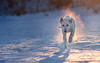 On Fire (Shanaro) Tags: dog pets fire mist steam snow winter white shepherd golden labrador action running cold ice magical sunset dusk beautiful cute puppy graceful outdoor rescue germany nature canon 700d 135mm l