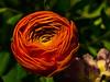 Ranunculus - Blossom II (rainerralph) Tags: makro olympus macro bluete blossom ranunkel ranunculus omdem1 flower objektiv60mm128