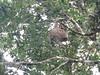 IMG_9110 (dstylebda) Tags: colonpanama gatunlake tamarins howlermonkeys sloth