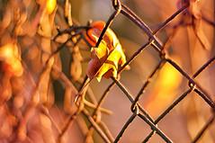 Happy Fence Friday  :-))) (eggii) Tags: fence friday hff leaves light orange 50mm nikon nikond90 18