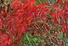 fall color, Virginia creeper (ophis) Tags: vitales vitaceae parthenocissus parthenocissusquinquefolia virginiacreeper fallcolor