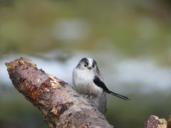 LONG-TAILED- TIT  P1010914 (ianpreston) Tags: staffordshire longtailedtit ltt birds fredasgrave cannockchase biirds 2017
