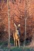 Roe deer 7 (Ian R T) Tags: roedeer deer aberdeen scotland urbandeer