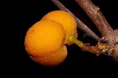 Sarcotoechia heterophylla (andreas lambrianides) Tags: sarcotoechiaheterophylla sapindaceae australianflora australiannativeplants australianrainforests australianrainforestplants arffs yellowarffs arfp qrfp threatenedspecies