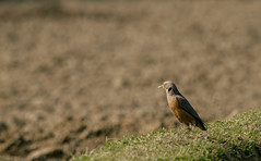 Chestnut-tailed starling (NahidHasan95) Tags: winter bangladesh bogra green field alone nature wildlife wildbird lastlight light sunlight grass eyes