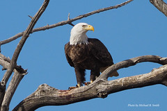 eagle baldeagle bird nature wildlife metzgerfarmopenspace colorado