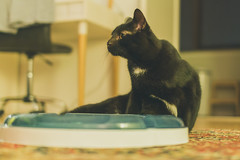 IMG_8134 (BalthasarLeopold) Tags: animal animals balthasar blackcat blackcats cat cateyes cats dephtoffield dof feline felines indoorcat kitten kittens mammal pet pets