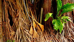 Brooms in Roots (Eye of Brice Retailleau) Tags: angle colourful colours composition earth landscape outdoor paysage perspective scenery scenic travel trees view vista extérieur roots tree centralamerica nicaragua granada