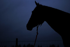 Dusk (natasha.flanery) Tags: emphasisusingvalue movementusingspace movementusingshape horse dusk dark underexpose black blue country southern equine elegant sky lookoff silhouette nonedistractingbackground ruleofthirds