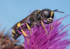 Digger Wasp? (steb1) Tags: macro insect wasp canonmpe65mm hymenoptera 2015 whixallmoss concavediffuser yongnuoyn14ex