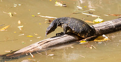 "Water Monitor-Sri Lanka • <a style=""font-size:0.8em;"" href=""http://www.flickr.com/photos/71979580@N08/20704865956/"" target=""_blank"">View on Flickr</a>"