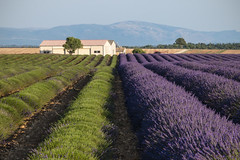 Il taglio della lavanda (Provenza) (Ondablv) Tags: france color verde nature composition landscape photography eos photo day foto purple image photos cut postcard tag country harvest violet lavender images clear erba postcards reap terre viola francia mov lilla provenza composizione lavanda immagine campi parfum provencal profumo immagini violetto grandi arbusto raso lillac fioritura filari provencia tagliati 70d arbusti mietitura mietere profumato falciatrice spelacchiato profumati ondablv canoneos70d canon70d eos70d mietitrici