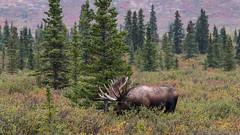 20150825 70D Alaska Denali National Park  120 (James Scott S) Tags: trip travel cruise vacation alaska canon landscape us unitedstates wildlife like moose tourist bull norwegian rack healy excursion ncl 70d