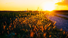 In Flames (der_peste (busy)) Tags: light sunset sun sunlight nature backlight ray sundown meadow greass
