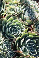 Suburban | Succulent (jessthemediastudent) Tags: green leaves succulent succulents torquoise