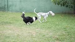 DSC02783 (agorayebm) Tags: dog bordercollie dalmatian crick dlmata