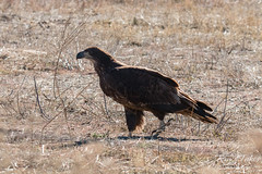 Juvenile Bald Eagle looks for the prairie dog it dropped