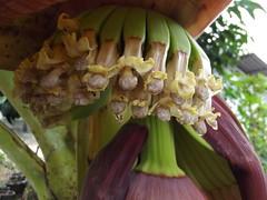 Musa sp. Musaceae: banana,  (SierraSunrise) Tags: flowers plants thailand banana chiangrai musaceae wiangkaen