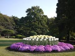 Kiku (Chrysanthemum × morifolium) (s.itto) Tags: november autumn garden japanese exhibition chrysanthemum shinjyukugyoen herbaceous asterceae