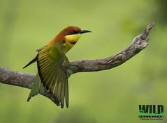 Chesnut Dance.. (Sadeepa Gunawardana) Tags: nature birds nationalpark wildlife chestnut srilanka beeeater migrant orthinology migrantbirds chestnutheadedbeeeater kumana gunawardana sadeepa