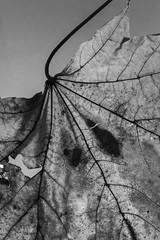 Sycamore Black Spot (J.R.R. McMillan) Tags: life autumn white black monochrome leaves leaf still sycamore backlighting