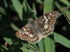 Common Checkered Skipper (Pyrgus communis) (Rezamink) Tags: usa butterflies pyrguscommunis commoncheckeredskipper