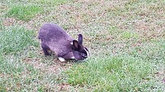 rabbit (Parco Querini) (marco_ask) Tags: park parco rabbit grass doe erba buck prato coniglio veneto cony mesenovembre