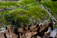 British Soldiers (brucetopher) Tags: green forest moss woods fungus lichen algae forestfloor mossy britishsoldiers britishsoldierlichen brucetopher