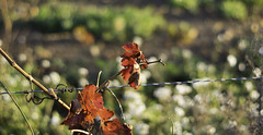 343/366 2016 (Spotty Dog Gallery- in France at last) Tags: 2016onephotoeachday 365daysproject 365daysor52weeks project365 vines azille minervois vineyard autumn automne