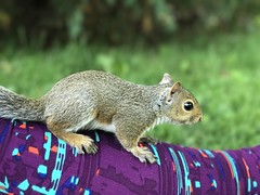 Previewing the Wilderness (CaptMikey9) Tags: babysquirrel squirrel